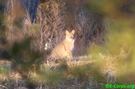 Bobcat I see you_new